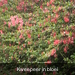 Kweepeer in bloei