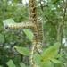 2007_08_10 Rommedenne 9 rupsen nachtvlinder