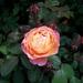 Een van de vele mooie geurende rozen