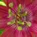 Passiebloem (rood)