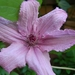 0- a  1clematis%20120%20(Small)