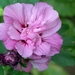 0- a  1Hibiscus%20HPIM3338%20(Small)