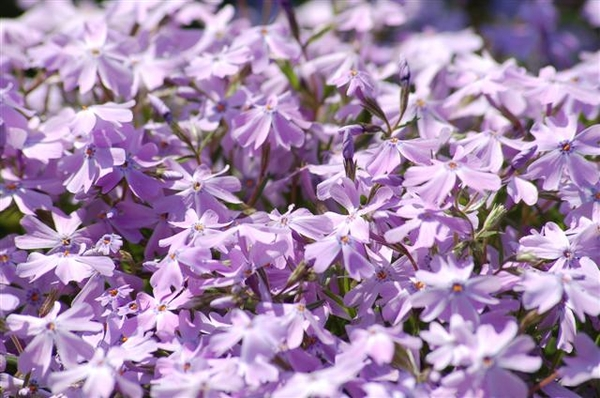 0- a  1phlox%20subulata%20016%20(Small)