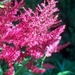 0- a  1astilbe%20(A)%20Fanal