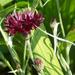 0- a  1centaurea_cyanus_black_ball_Hpim1748