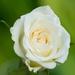 MV9_3030_Witte roos
