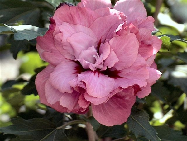 0- a  1Hibiscus%20HPIM2045%20(Small)