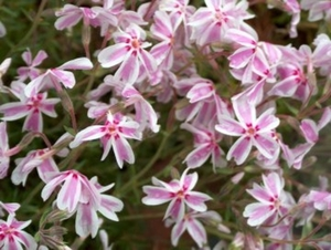 0- a  1phlox%20(S)%20candy%20stripes