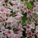 0- a  1weigela%20%20052det%20(Small)