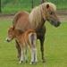 Natuurvreugde Paard & veulen