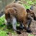 Jonge Kangoeroe