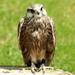 Roofvogel-(valk)