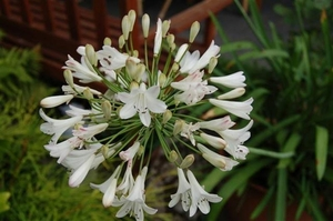 0- a  1agapanthus%20wit%20105%20(Small) (Medium)