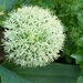 0- a  1allium%20Ivory%20Queen (Medium)