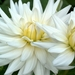 0- a  1dahlia%20cactus%20my%20love%20I%20wit%20Hpim1856 (Medium)