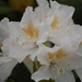 0- a  1Rhododendron%20wit%20(Small) (Medium)