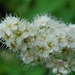 0- a  1spirea%20114%20(Small) (Medium)