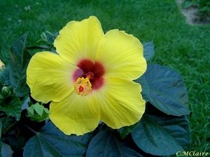00- 1  a1  Hibiscus
