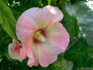 00- 1  a1 Alcea-rose