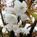 00- 1  a1 Cerisier-a-fleurs