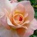 00- 1  a1 coeur-de-rose