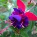 00- 1  a1 fuschia-bicolore