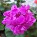 00- 1  a1 geranium 2