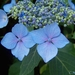 00- 1  a1 Hortensia-bleu