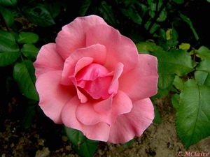 00- 1  a1 Rose