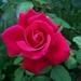 00- 1  a1 Rose 2