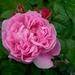 00- 1  a1 Rose-dentelle