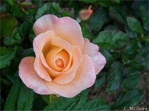 00- 1  a1 Rose-saumon