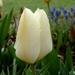 00- 1  a1 Tulipe