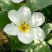 00- 1  a1 tulipe 2