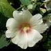 00- 1  a1Althea-rosea