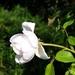 00- 1  a1Bouton-de-rose-blanche