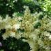 bloem van Rodgersia