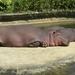 Nijlpaarden.4