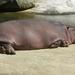 Nijlpaarden.6