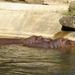 Nijlpaarden9