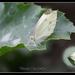Vlinder (koolwitje)