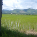 Nog rijstvelden