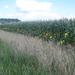 een heel veld mais omzoomd met dahlia's