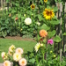 Zonnebloemen en dahlia's, goede vrienden