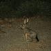 Jack Rabbit in Organ Pipe Cactus NP, Arizona