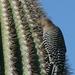 Specht op cactus in Organ Pipe Cactus NP, Arizona