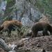Zwarte beren, Yosemite Park, Californie