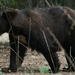Zwarte beer, Yosemite Park, Californie