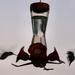 Hummingbirds komen eten net voor donker