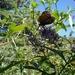 Een vlinder in Les Vignes